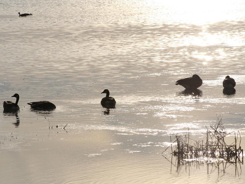 ducks2.jpg