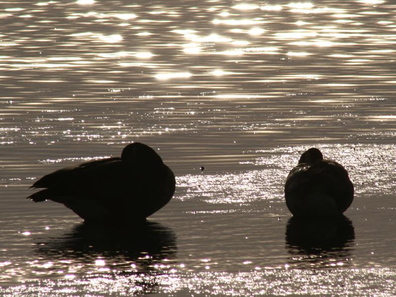 ducks3.jpg